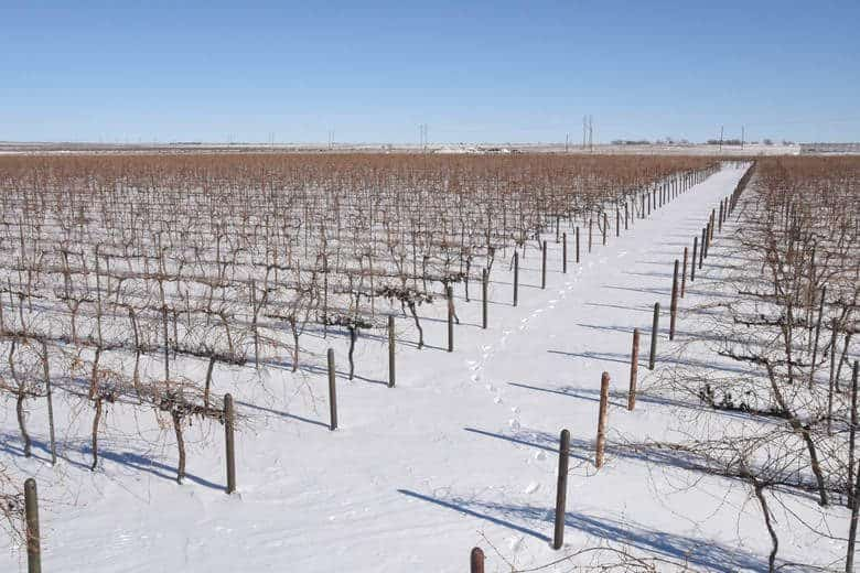 Vineyard After the Snow