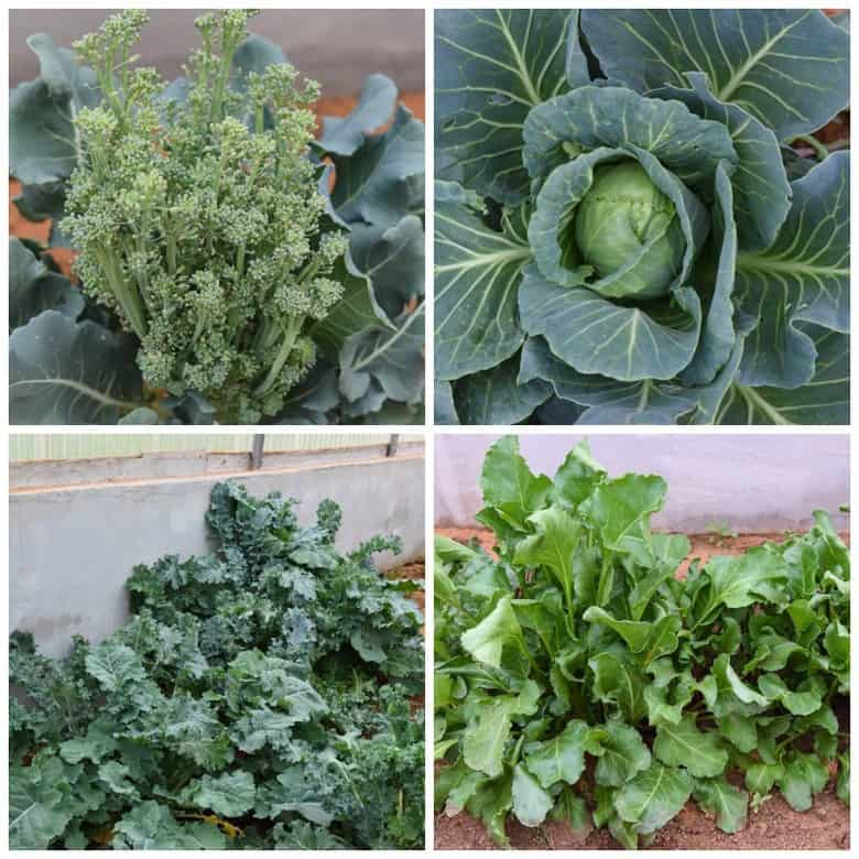 greenhouse produce - broccali, cabbage, kale, beets