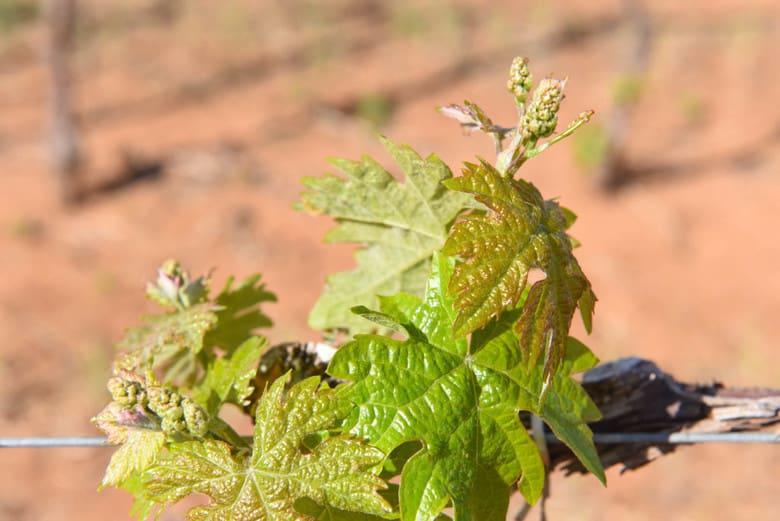 Spring Vineyard - Montepulciano