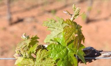Spring Vineyard – It's Coming Alive!