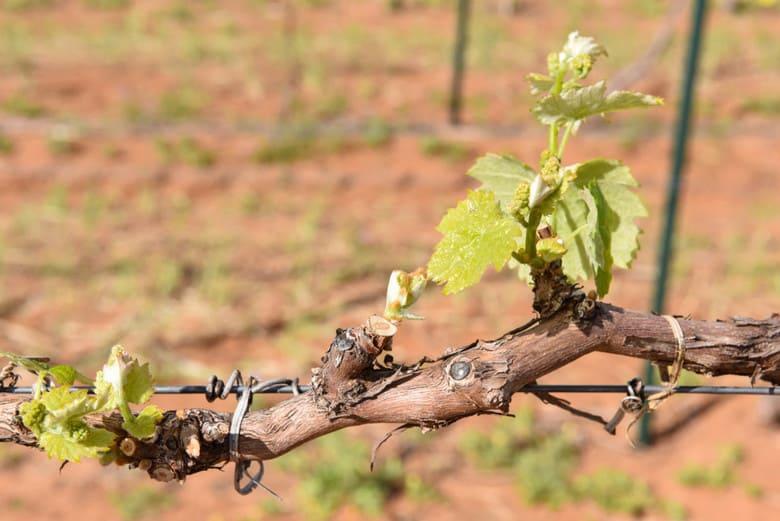 Spring Vineyard - Petit Verdot