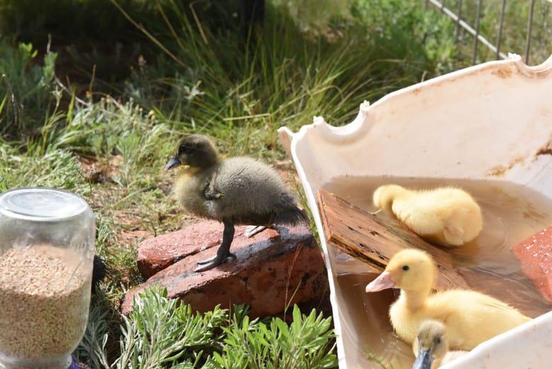 Ducks for the Farm