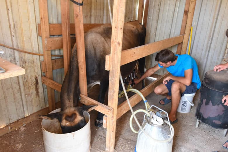 Milking the Family Milk Cow after a new calf