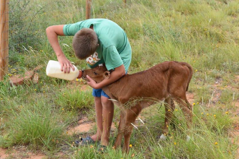 New Calf - Bottle feeding