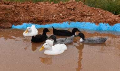 New Duck Pond – How to Make Your Own!