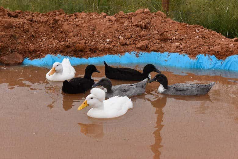 New Duck Pond