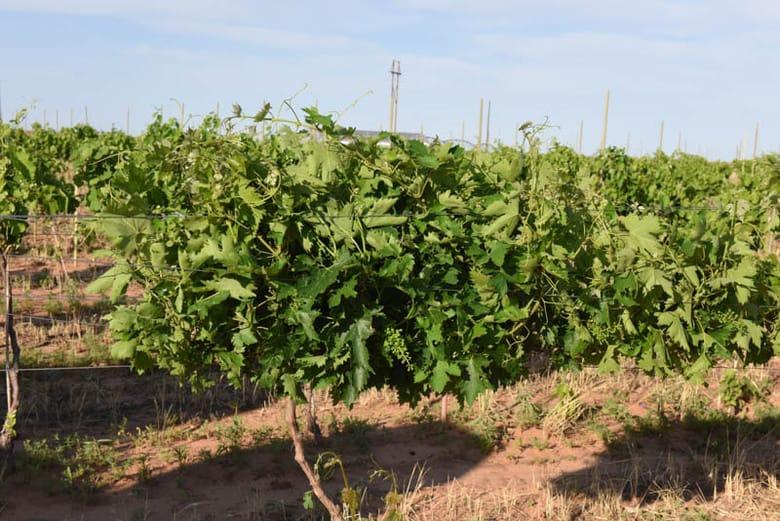 Raising Wires in the Vineyard