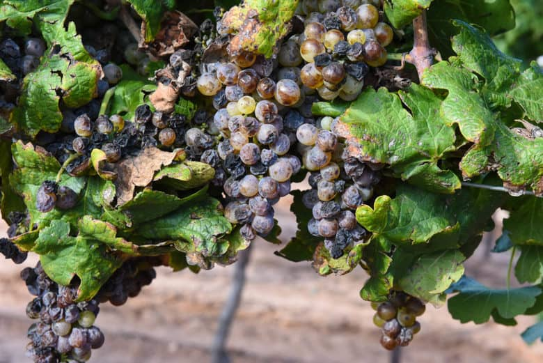 Roussane Grapes and Bunch Rot