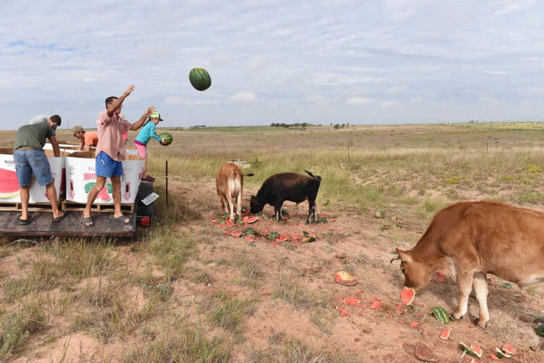 Cows love watermelon and pumpkin