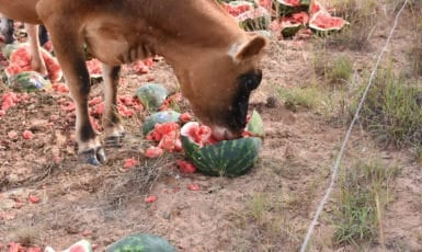 Cows Love Watermelon and Pumpkin!