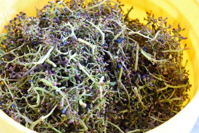 Making Wine - Crushing Grapes