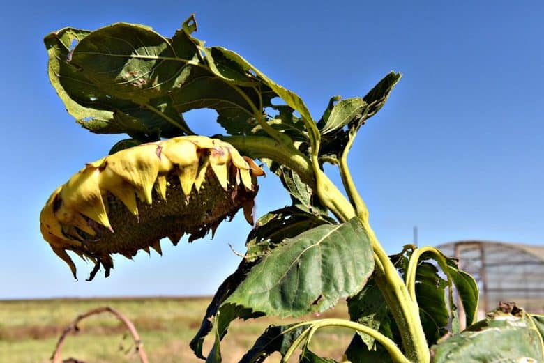 how-to-harvest-sunflower-seeds-sunflower-bowing-its-head