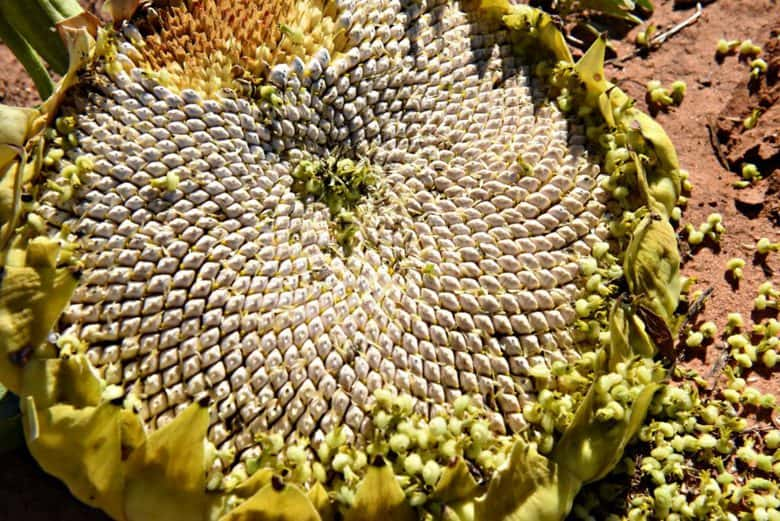 how-to-harvest-sunflower-seeds-sunflower-seeds-ready-to-harvest