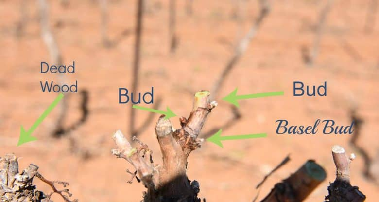 hand pruning buds explained