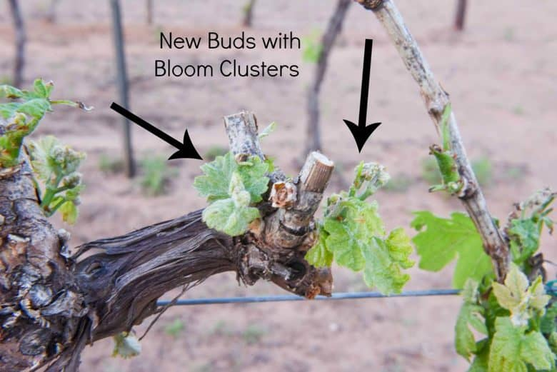 Hail Damage in the Vineyard - 2 New Buds with Bloom Cluster