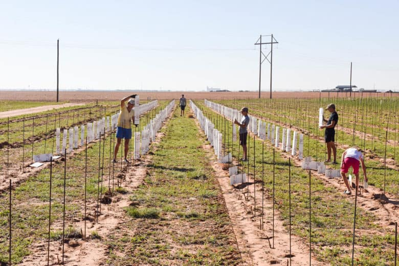 Hail Damage in the Vineyard - New Planting