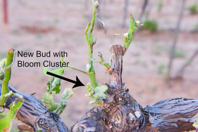 Hail Damage in the Vineyard - New Bud with Bloom Cluster