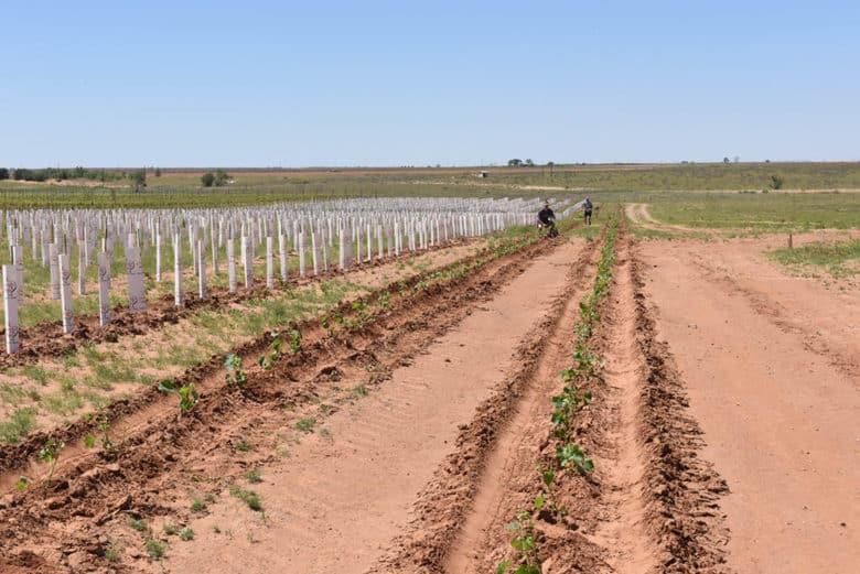 Planting Albarino