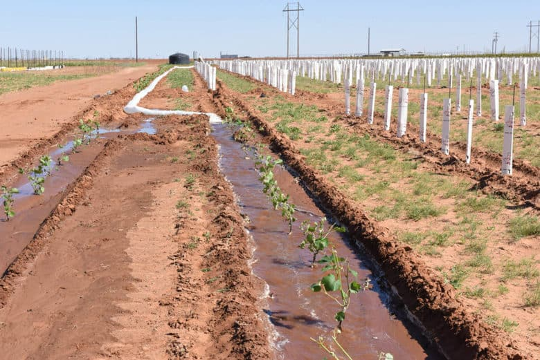 Planting Albarino - row watering