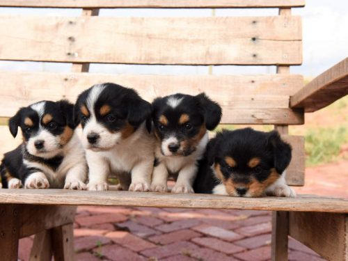 Corgipoo Puppies – They Will Melt Your Heart