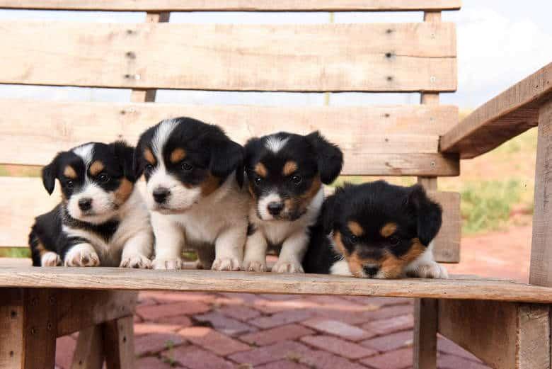 Corgipoo Puppies