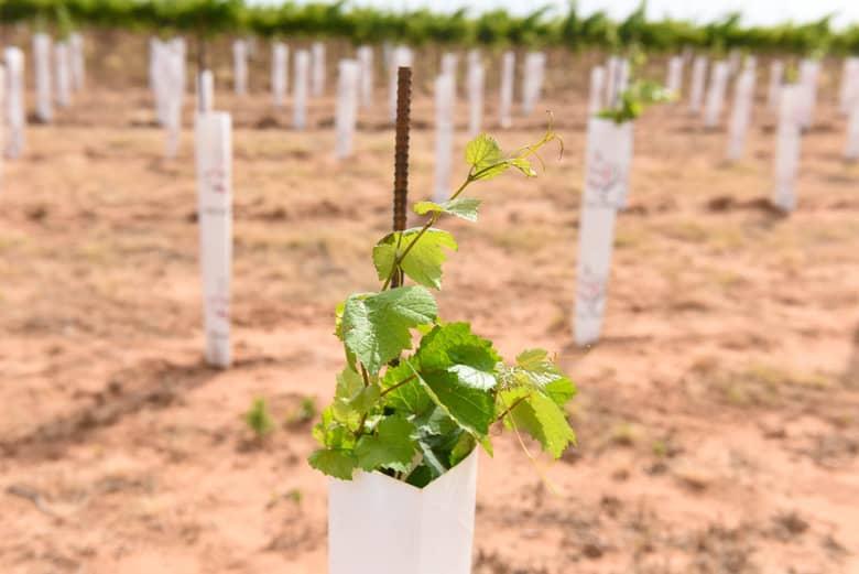 Trellising Grapevines – the Albarino