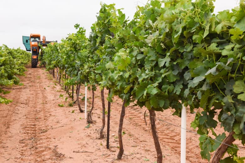 Canopy Management in the Vineyard - vine row after wire raising