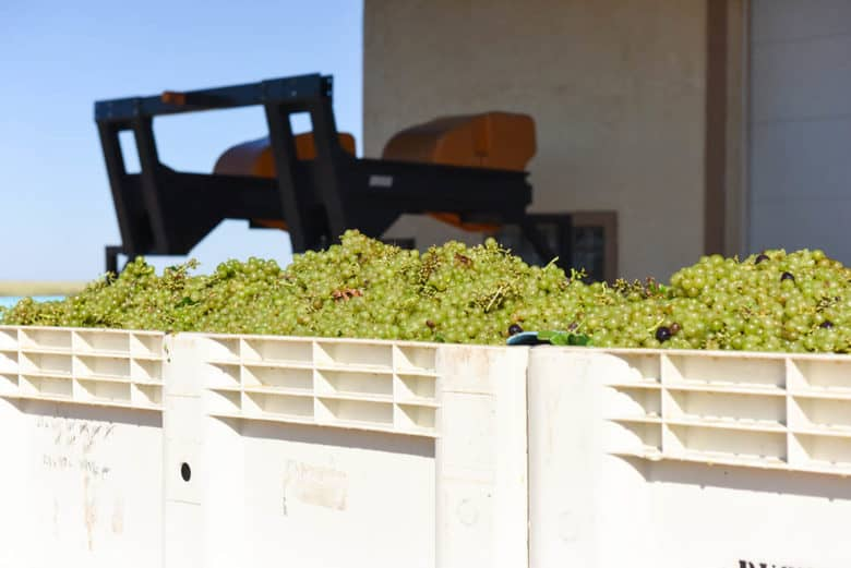 2017 Roussanne Grape Harvest