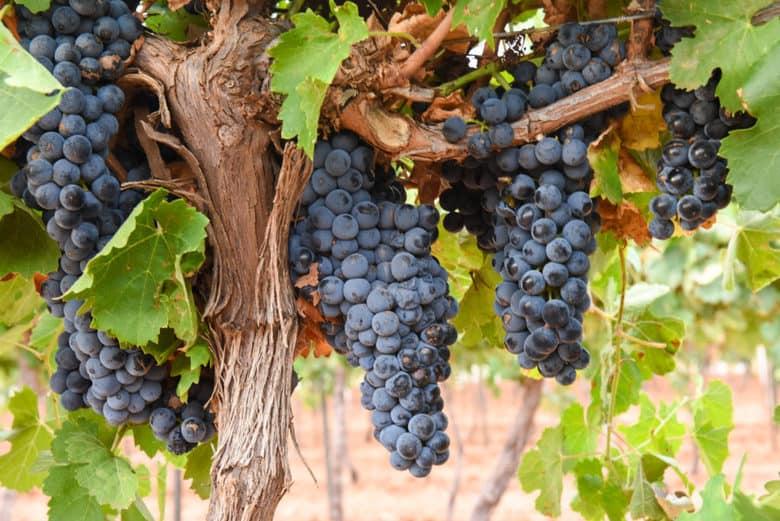 Montepulciano Grape Harvest - grapes