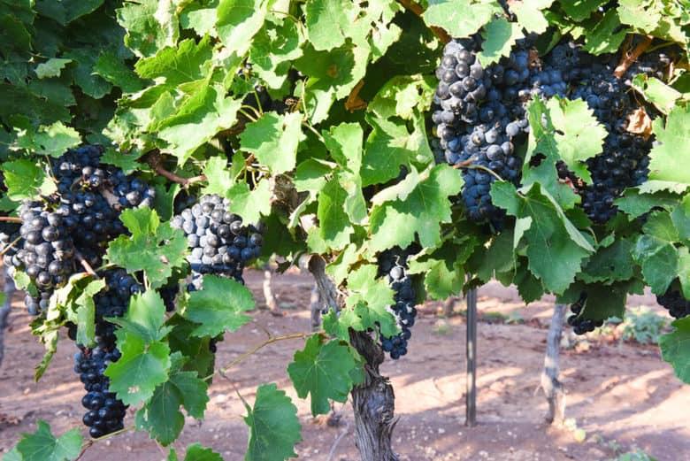 Aglianico Grape Harvest 2017 - Aglianico Grapes