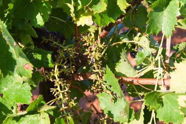 Aglianico Grape Harvest - Aglianico Grapevine after the Pellenc harvester
