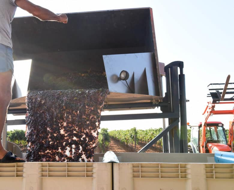 Montepulciano Grape Harvest - filling the bins