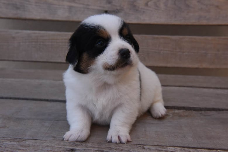 Corgipoo puppy - White puppy with black and tan markings
