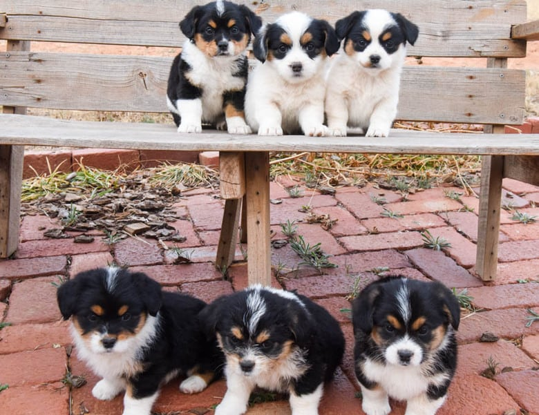 Corgipoo Puppies - sitting on a bench