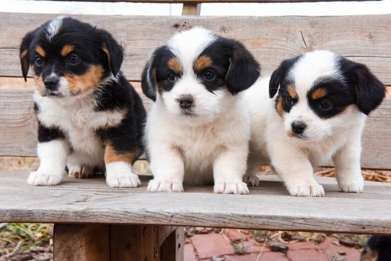 Corgipoo Puppies - 3 females