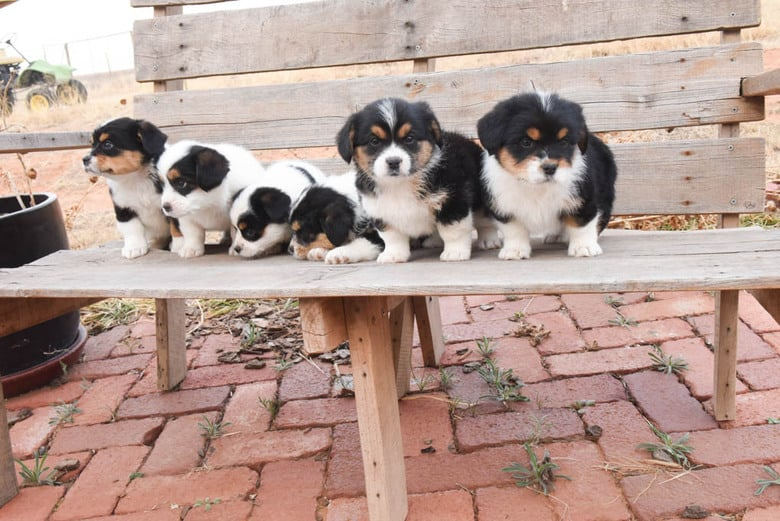 Corgipoo Puppies - the others get distracted and look away