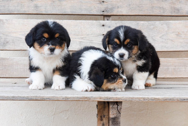 Corgipoo Puppies - three males together