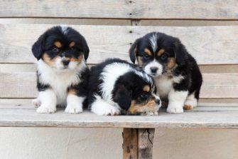 Corgipoo – Adorable Puppies