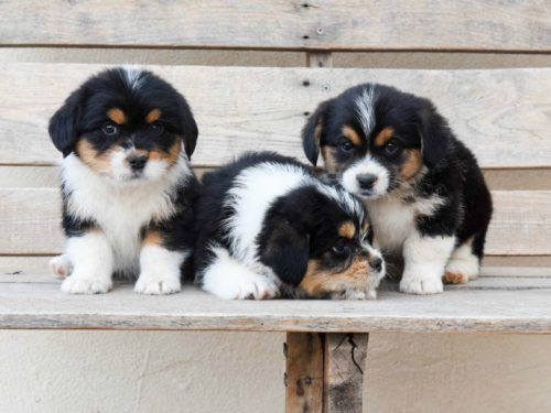 Corgipoo – Adorable Puppies