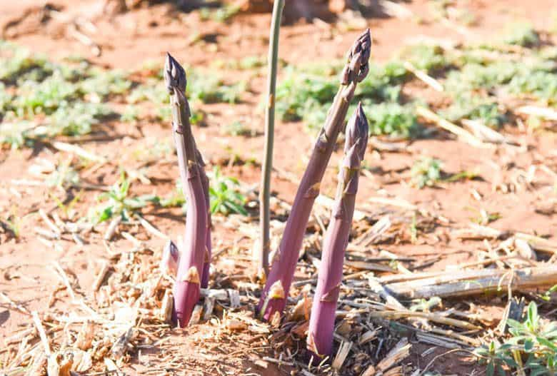 Health Benefits of Asparagus - purple asparagus shown growing in garden