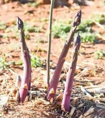 purple asparagus shown growing in garden