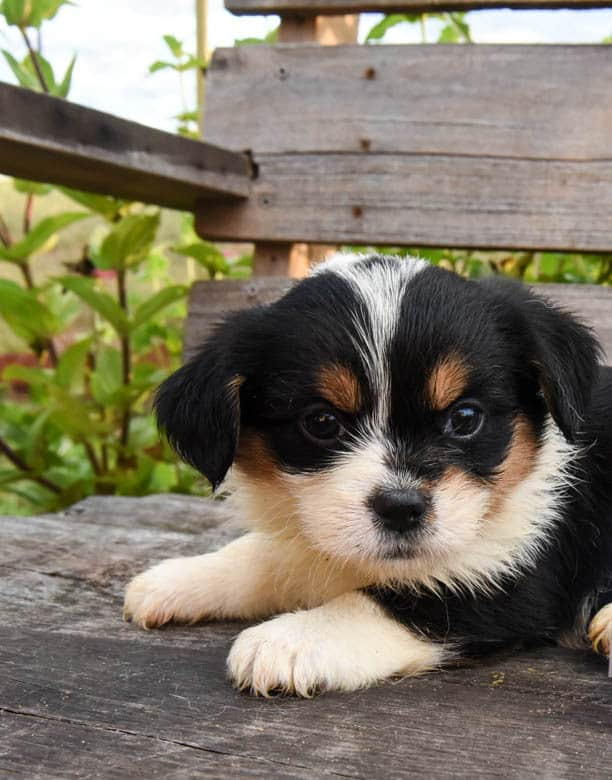 Tri-colored Corgipoo Puppy laying on a wooden bench.