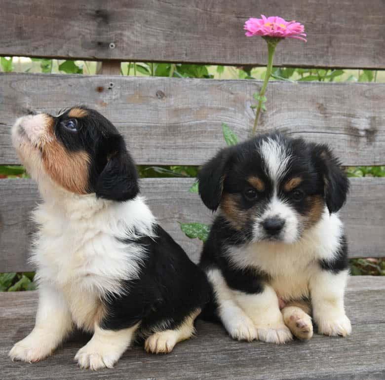 Two Corgipoo Puppies sitting on wood bench