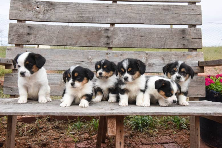 Six Corgipoo Puppies sitting, laying and looking on a wood bench