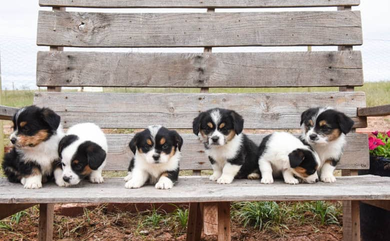 Six corgipoo puppies sitting on a wooden bench